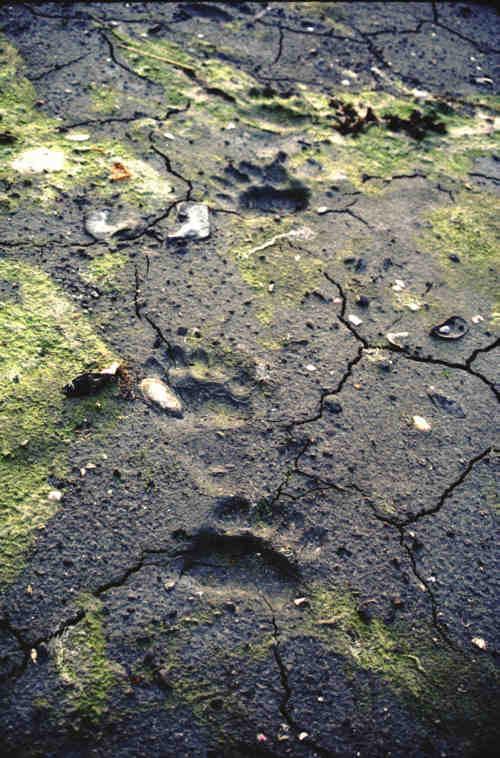 Bearprints