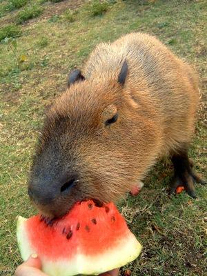Capivara Eating My Watermelon